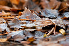Autumn leaves. In January. (Stewart Black) Tags: old brown leaves dof decay autumnal wrinkled