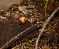 Apple - Apfel - found on a tree stump - Kahlenberg, Krapfenwaldl (hedbavny) Tags: vienna wien autumn winter red summer orange tree rot art apple yellow trash studio rouge austria sketch sterreich sprin