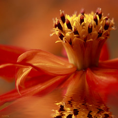 Queen Cosmos (-clicking-) Tags: red orange flower reflection art water floral