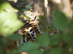 Tigress (iamfisheye) Tags: camera india animal female cat tiger central olympus kit e3 tigress pantheratigris kanha royalbengaltiger india2011