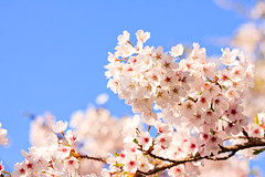 Beautiful Day (samyaoo) Tags: taiwan sakura cherryblossoms  chiayi  alishan