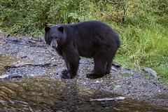 Black Bear Fishing for Salmon (Loren Mooney) Tags: alaska bear wildlife blackbear mammal people outdoors fishing hyder nature wilderness animal bearsursidae
