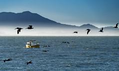 san francisco (DROSAN DEM) Tags: san francisco usa pelicans pelicanos boat barco mar sea nubes fog cloud niebla sky cielo