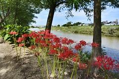 Red Spider Lily  ,Japan. (marcelo.nakazaki) Tags: floracao flores arvore ceu sky tree flower blossom aoarlivre river rio asia aichiken nagoya japan japon japao redspiderlily spiderlily lirioaranha postcard
