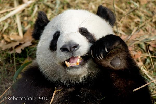 RYALE_Sichuan_Panda_35