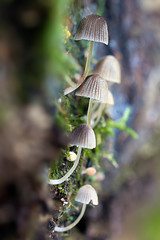 Coprinus disseminatus-2 (JM Ripoll) Tags: barcelona forest mushrooms spain bosque fungus funghi pilze wald svamp mycology pilz champignons setas fong bosc foresta fungo bolets micologia mikologia onddo coprinusdisseminatus mycologie olzinelles pilzkunde foraoise