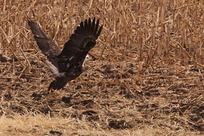 11-20-eagle2