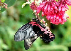 RISHYAP  - Day 6 - Neora Valley Resort - Redbreast (Papilio alcmenor) Butterfly (Paldas Photography) Tags: trip wild macro green nature butterfly tour som himalaya darjeeling hillstation somnath butterflyindia insectindia rishap rishop rishyap diversityindia paldas