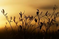 "_DSC6542 cc ""morning dance""  2 (ChanHawkins) Tags: light foliage southofmanningalberta chanhawkins"