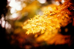 Days of gold (moaan) Tags: life leica november autumn color 50mm gold dof bokeh diary f10 momiji japanesemaple kobe utata rokko noctilux m3 hue tinted 2010 brightyellow fujivelvia100 tinged rvp100 goldenyellow leicam3 autumnaltints goldendays inlife gloriousdays leicanoctilux50mmf10 diaryofnovember gettyimagesjapanq1 gettyimagesjapanq2