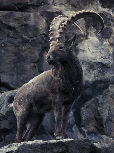 フリー写真素材, 動物, 哺乳類, ウシ科, 山羊・ヤギ,