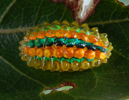 Jewel caterpillar