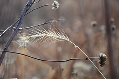 a jumble of memories (christiaan_25) Tags: november autumn plants fall grass season dead bokeh memories passing prairie dried past potpourri seedheads bereft leftbehind