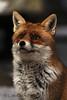 Fox (Carlo Romano Art) Tags: red parco nature natura romano caro fox carlo rosso abruzzo volpe nazionale bestofmywinners