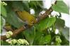 Oriental White-eye,  Zosterops palpebrosus nilgiriensis (Naseer Ommer) Tags: india kerala westernghats munnar whiteeye orientalwhiteeye naseerommer discoverplanetinternational zosteropspalpebrosusnilgiriensis