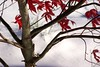 first snow (elle.hanley) Tags: seattle november red snow japanesemaple sonya330 vivadeva