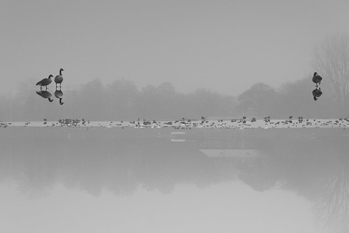 Coldfrontation (Bury Lake), Rickmansworth (flatworldsedge) trees white mist lake black cold reflection ice fog grey geese bury icy boathouse canadageese rickmansworth explored yahoo:yourpictures=reflections yahoo:yourpictures=winter yahoo:yourpictures=winterv2 yahoo:yourpictures=reflections2