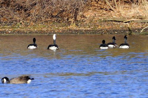 whiteheaded canada goose