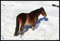 ¿Verde? (socrates669) Tags: verde animal caballo caballos nieve nevada prado fresco frio verdes nevado hierba yegua nieves mamiferos nevando prao nevo rocinante mamifero friolero fuentesdeinvierno caballoenlanieve buscandoloverde buscandolahierva animalenlanieve pisandolanieve friisimo