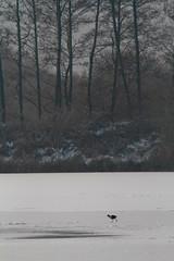 _MG_2251 Moorhen (Gallinula chloropus), Brandon Marsh, Warwickshire 03Dec10 (Lathers) Tags: winter ice canon frozen frost brandon moorhen gallinulachloropus nbw brandonmarsh canonef300f4lisusm canon7d wildinthemidlands 03dec10