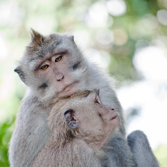 Ain't got a care in the world (Fajar Nurdiansyah) Tags: bali animal indonesia monkey bokeh ubud babymonkey crabeatingmacaque macacafascicularis 55200mm d5000 ubudmonkeyforest