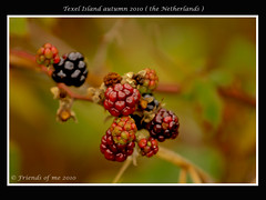 blackberries taken on Texel Island (the Netherlands) (drbob97) Tags: food holland nature netherlands dutch waddenzee canon island waddeneiland nederland taken natuur eat blackberries texel waddeneilanden waddensea 40d waddenisland drobo drbob97