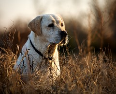 Brown Eyed Girl (tobey308) Tags: dog oklahoma yellow canon lab hunting toddtobeyphotography