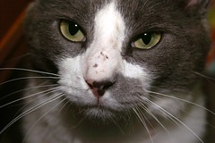 Tux the Cat Looking Up at Me With a Beat Up Nose (joanna8555) Tags: white cute cat nose grey nc eyes funny sweet northcarolina purr meow scratched tux hillsborough totten joanna8555 thejabproj3ct shebbalone