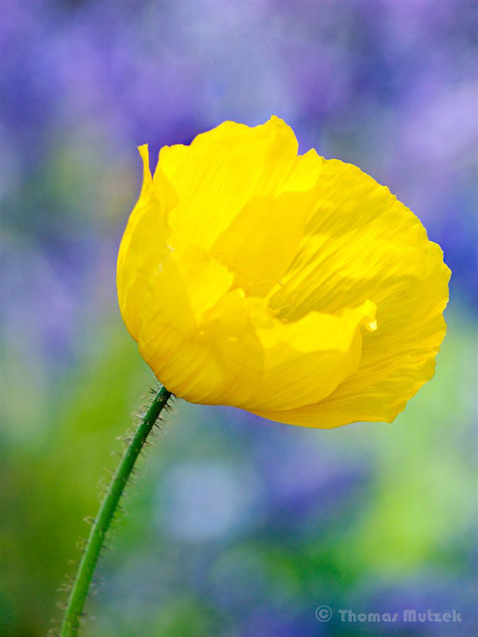 Yellow Flower, 2010