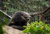 Binturong (Jellibat) Tags: animals zoo australia melbourne victoria parkville bearcat binturong asianbearcat arctictisbinturong royalpark viverridae palawanbearcat