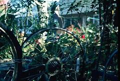 reinforced (damiec) Tags: film vines recycled dappled n50 hff gardenfence bikewheels sooc expiredkodachrome fencefriday thankyoumainedave