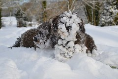 Sticky snow (Hazel) Tags: uk snow wales dachshund wirehair
