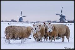 Schapen in Kinderdijk (wimzilver) Tags: snow holland sneeuw nederland explore 7d kinderdijk alblasserwaard molen koud schaap alblasserdam wimzilver