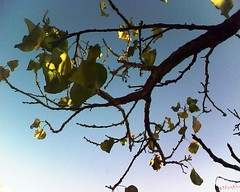 (Jamal Elkhalladi) Tags: nature automne morocco maroc milli  hassi   abricotier berkane   triffa