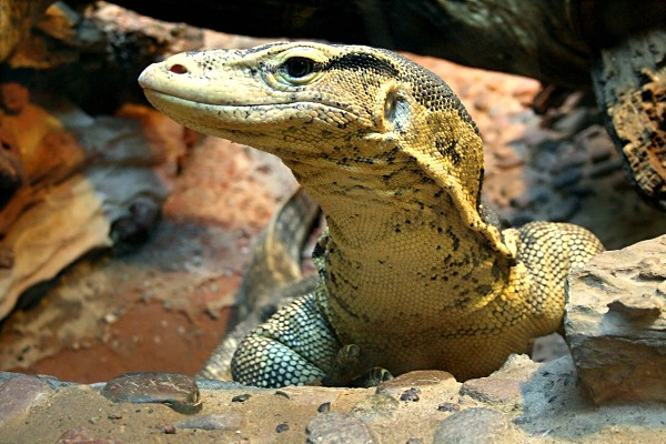 Monitor Lizard at the at the Wildlife World Zoo