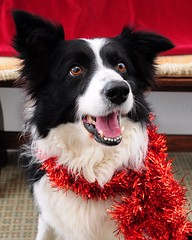 Getting Festive (EJ Images) Tags: christmas xmas dog slr animal festive mac nikon collie bc sheepdog canine bordercollie dslr 2010 merryxmas nikonslr d90 nikond90 18105mmlens xmas2010 ejimages