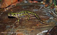 Triturus pygmaeus - La Palma del Condado - Huelva (Budi Rebollo Fernandez) Tags: walt salamandra calamita hyla pygmaeus meridionalis triturus morenica pleurodeles alytes epidalea cisternasii discoglossus galganoi