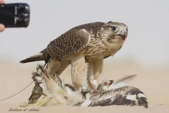 -  (sahoodvich) Tags: life wild bird animal sport canon fly hunting flight arab falcon kuwait ibrahim  khaled  q8                 gyer             sahoodi    alsahood sahoodvich  alhawedi