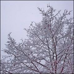 6 - 20 décembre 2010 Maisons-Alfort En allant au travail à pied, quelques photos de neige... (melina1965) Tags: leica trees winter snow tree lumix december îledefrance hiver panasonic arbres neige arbre 2010 décembre valdemarne maisonsalfort fx10 photoscape