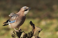 Jay in the Breeze Oak Wood December 2010 (kennethwilsonsmith) Tags: group naturesfinest coth supershot 100comments supershots impressedbeauty impressedbyyourbeauty avianexcellence impressedbyyourbeaty 100commentgroup dragondaggerawards mygearandmepremium mygearandmebronze mygearandmesilver mygearandmegold mygearandmeplatinum 5wonderwall ghreatphotographers amazingwildlifeawards