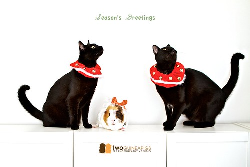 twoguineapigs pet photography photoshoot two black cats and a guinea pig season's greetings