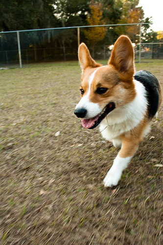 Corgi Visits the Dog Park