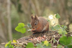 RED SQUIRREL (John Ambler) Tags: red squirrel feeding nuts hazel isleofwight mead isle wight alverstonemead atalverstone