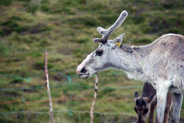 IMG_4858 reindeer numer 1069