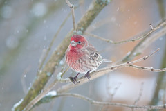 Roselin familier - House finch (Dany Paquin) Tags: trees winter red house snow cold tree bird birds rouge hiver finch neige arbre froid oiseau oiseaux familier carpodacus roselin pourpre mexicanus