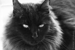 Hello. My name is Eddie. (Daniele Nicolucci photography) Tags: portrait blackandwhite black cute animal cat fur nose big scary eyes furry feline serious vampire teeth fluffy whiskers eddie dust purrtrait