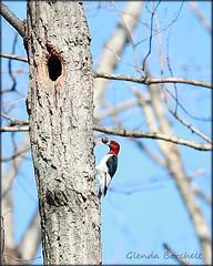 Have a Bountiful New Year! (glenda.suebee) Tags: ohio birds woodpeckers redheads happynewyear glenda 2010 bountiful redheadedwoodpecker melanerpeserythrocephalus nearbynature ohiofoothills ohionaturephotographers