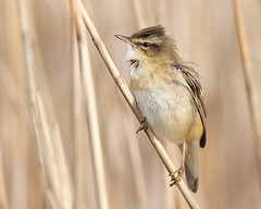 Sledgy Returns (Andrew Haynes Wildlife Images) Tags: bird nature wildlife norfolk nwt sedgewarbler cleymarsh canon7d ajh2008