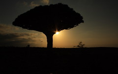 Dragon blood tree (Michael Elkjaer) Tags: sunset tree nature island blood dragon yemen endemic isolated socotra