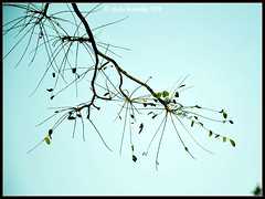 Photo A Day : Standing Tall [97/365] (~aDeSe~) Tags: blue sky india tree green nikon madhyapradesh nikond90 lpdelicate